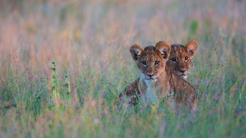 「ライオンの子ども」ボツワナ, カラハリ砂漠