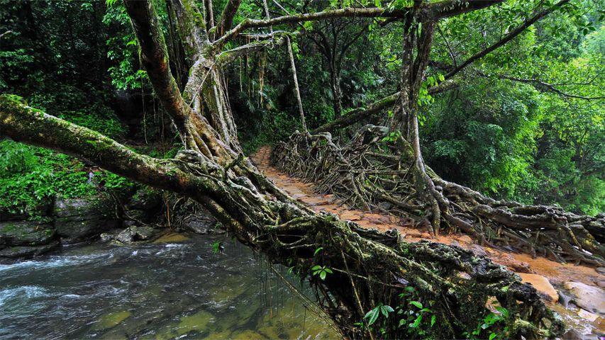 「リビング・ルート・ブリッジ」インド、メーガーラヤ州