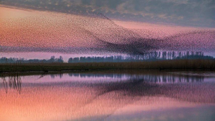 「ムクドリの群れ」オランダ, ラウエルス湖自然公園