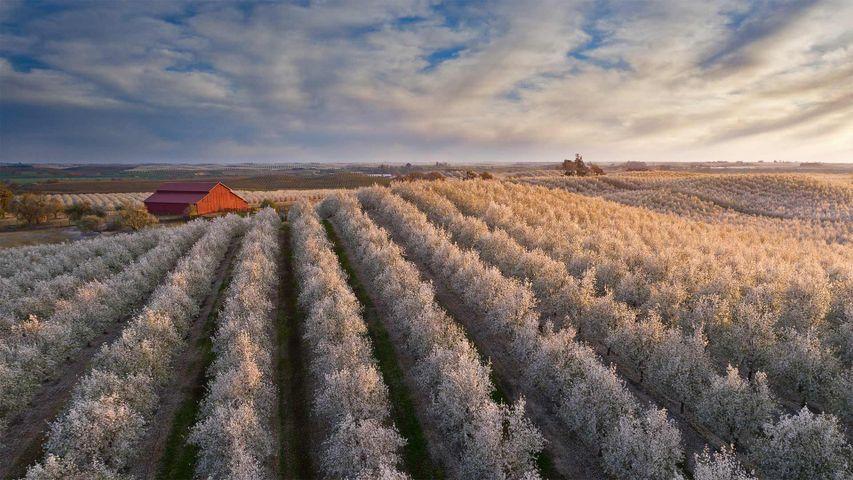 「赤い納屋とアーモンドの花畑」米国, カリフォルニア州