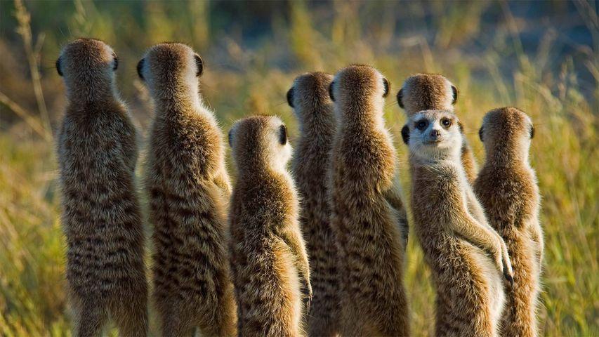 「ミーアキャットの家族」ボツワナ, カラハリ砂漠