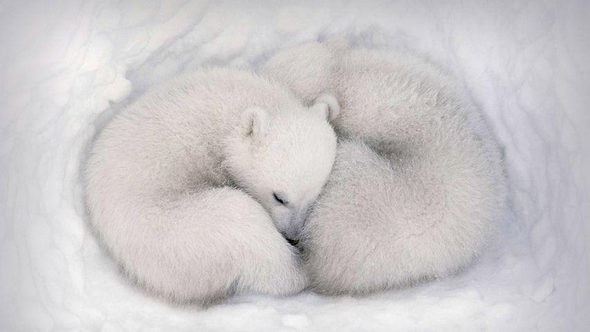 「ワプスク国立公園のホッキョクグマの赤ちゃん」カナダ, マニトバ州