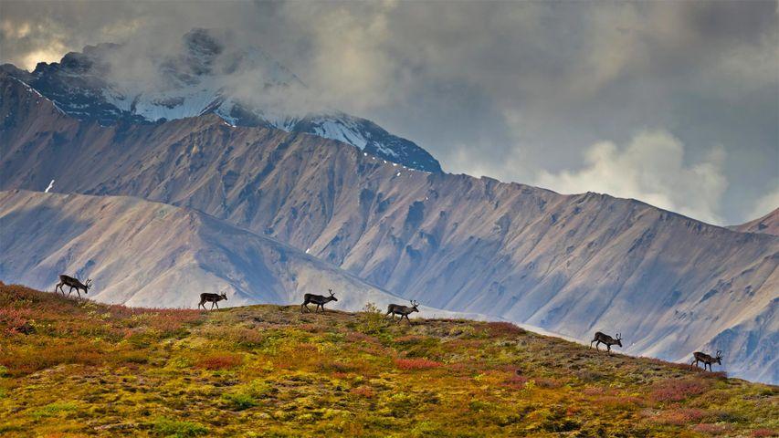 「デナリ国立公園のカリブー」米国, アラスカ州