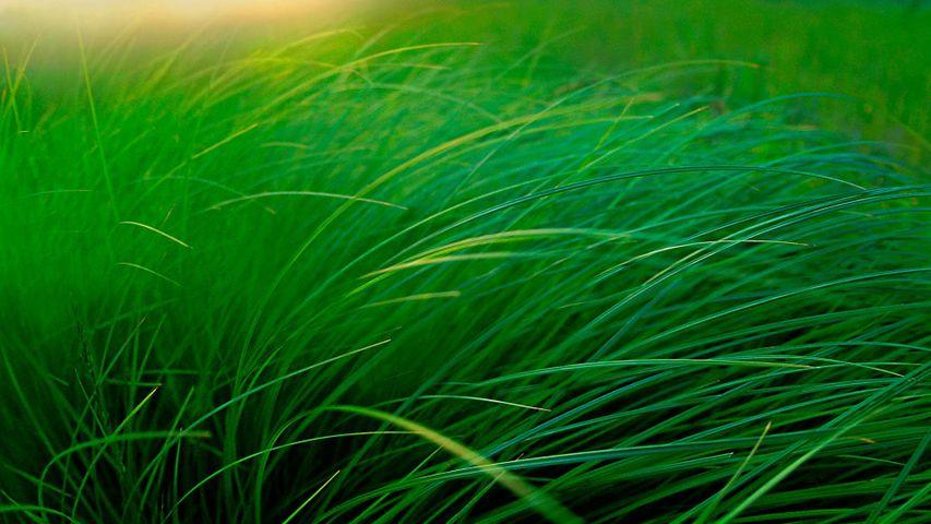 「スゲの草むら」米国ミネソタ州, ムース・レイク