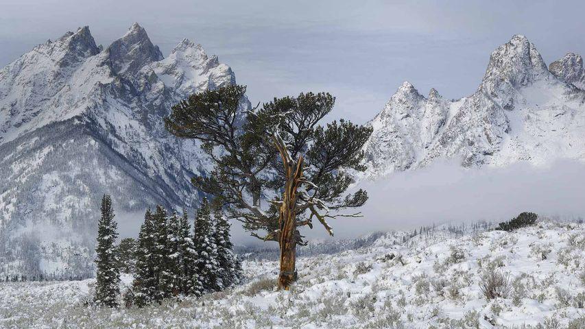 「長老の木」米国ワイオミング州, グランドティトン国立公園