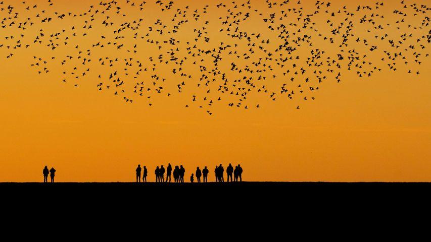 「デンマークとドイツの間の湿地で秋の渡りをするムクドリ」