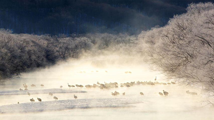「けあらしの中のタンチョウ」北海道, 雪裡川