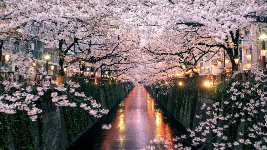 「目黒川の桜」東京, 目黒区