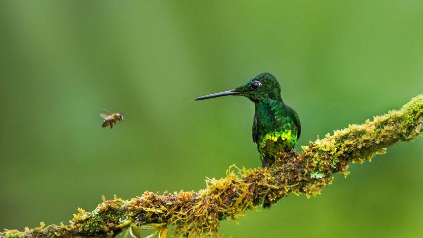 「ハチドリとハチ」コロンピア