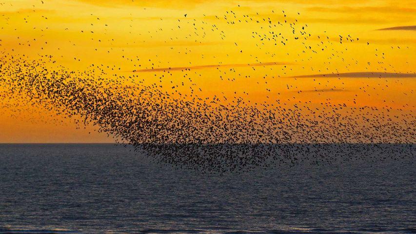 「ホシムクドリの群れ」イギリス, ブラックプール