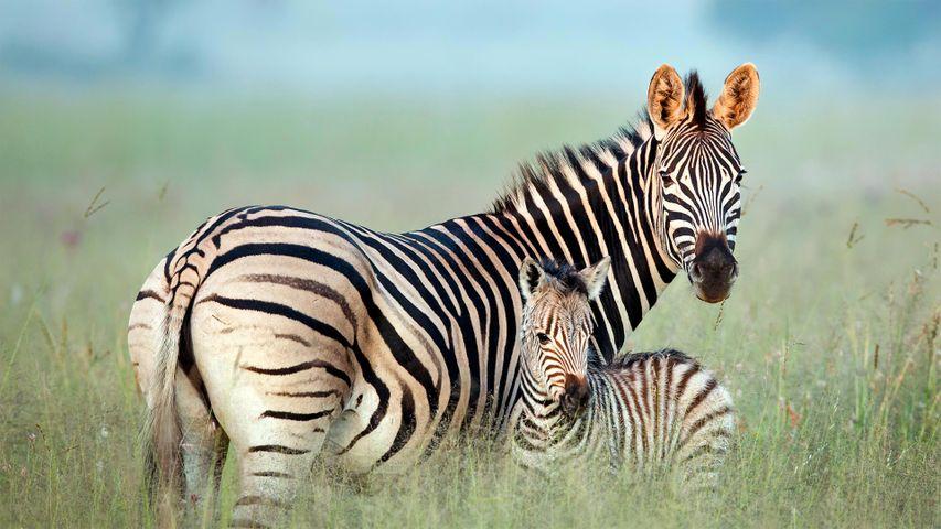 「シマウマの母子」南アフリカ, リットフレイ自然保護区