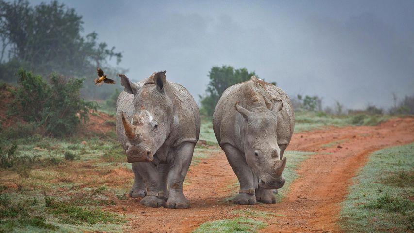 「サイとウシツツキ」南アフリカ, アマカーラ生物保護区
