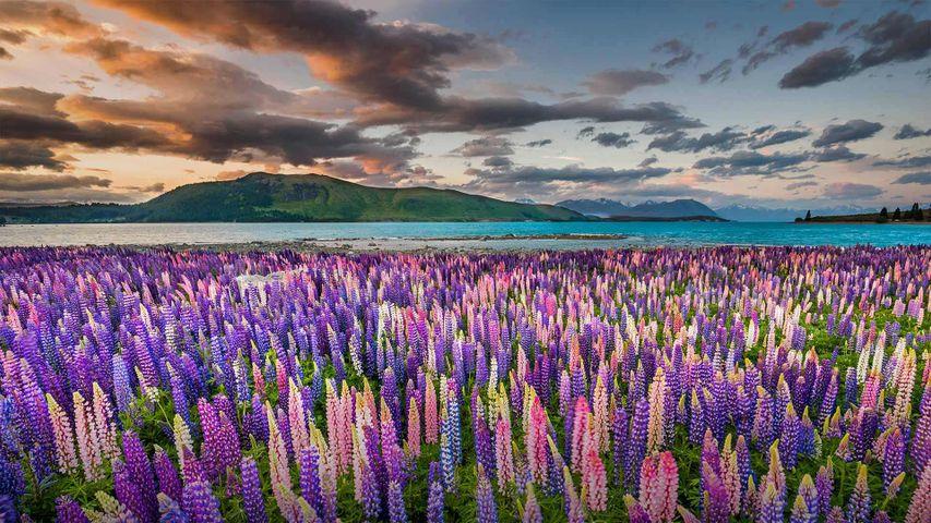 「テカポ湖のルピナス」ニュージーランド南島