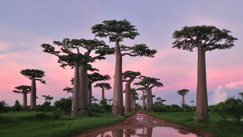 「バオバブ並木」マダガスカル, モロンダバ