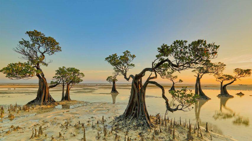「マングローブの木」インドネシア, スンバ島