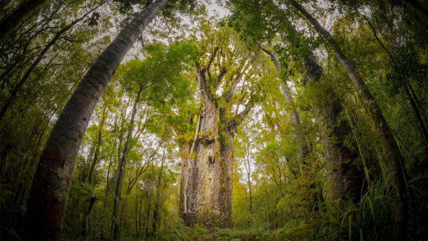 「テ・マツア・ナヘレ」ニュージーランド,ワイポウア森林保護区