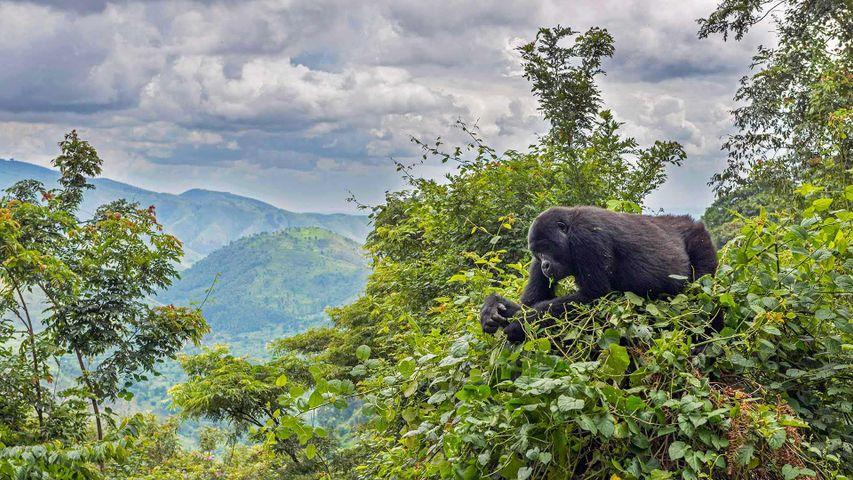「マウンテンゴリラ」ウガンダ, ブウィンディ原生国立公園