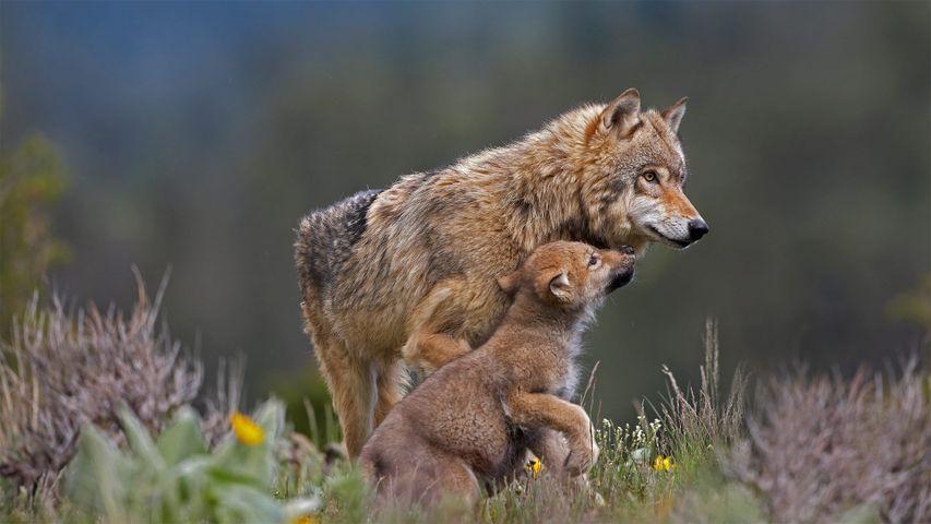 「ハイイロオオカミと子ども」米国モンタナ州