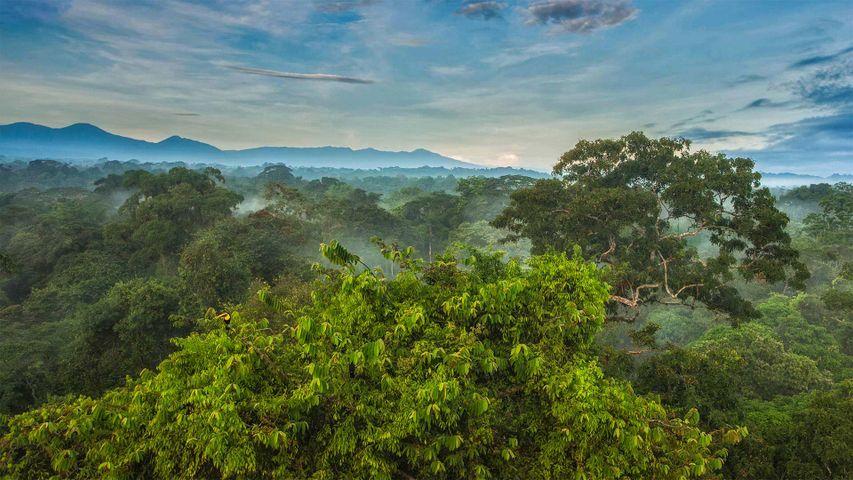「ラ・セルバ生物ステーションのオオハシ」コスタリカ, サンペドロ (© Greg Basco/Minden Pictures)