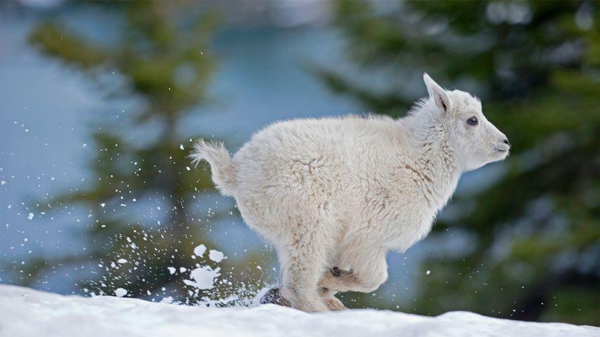 「シロイワヤギの仔」米国, モンタナ州西部