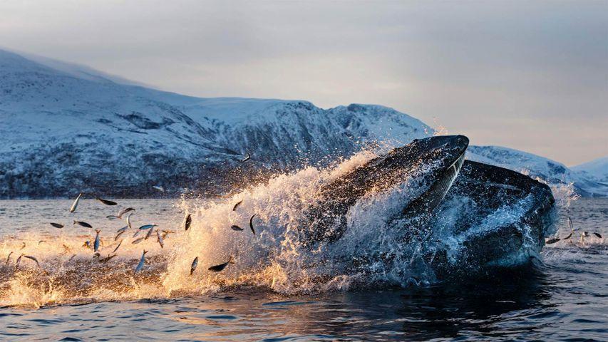「ニシンを食べるザトウクジラ」ノルウェー, トロムソ, クバル島
