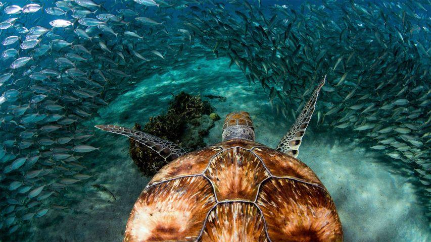 「イワシの群れとアオウミガメ」キュラソー島, プラヤ・グランデ