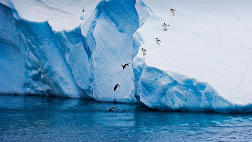 「アデリーペンギン」南極大陸
