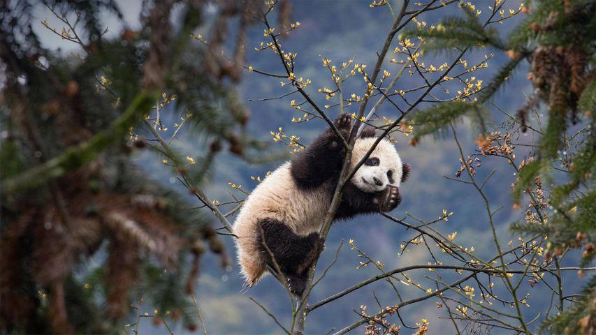 「ジャイアントパンダの仔」中国, 四川省